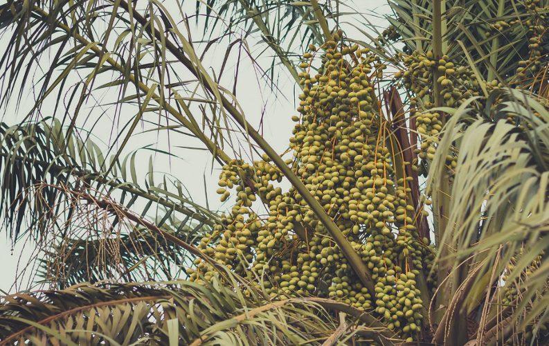 Unripe date fruits in a date palm tree